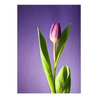o rosa da flor da flor da tulipa tulip-320874 flor convite