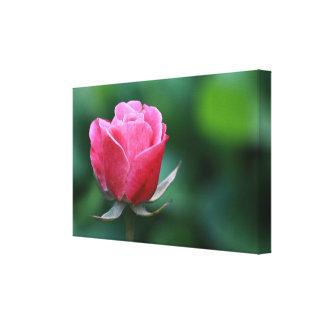 O rosa lindo/rosa vermelha esticou o impressão das