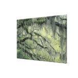 O savana, Geórgia, árvore de Live Oak drapejou com Impressão De Canvas Esticadas