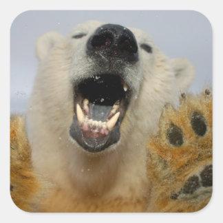 o urso polar, maritimus do Ursus, olha curiosa Adesivo Em Forma Quadrada
