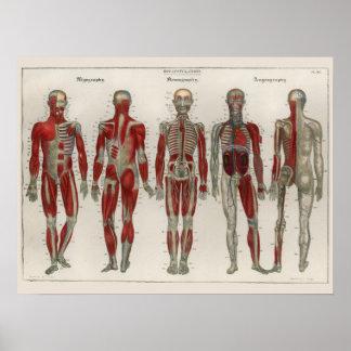 O vintage 1837 Muscles o poster da arte da Pôster