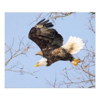 Olhos de águia americana seu prêmio impressão de foto