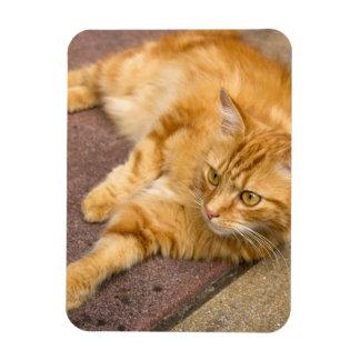 Olhos do ouro do gato do gengibre foto com ímã retangular