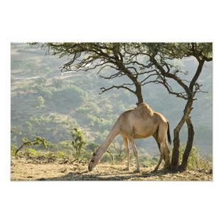 Oman, região de Dhofar, Salalah. Camelo no Impressão De Foto