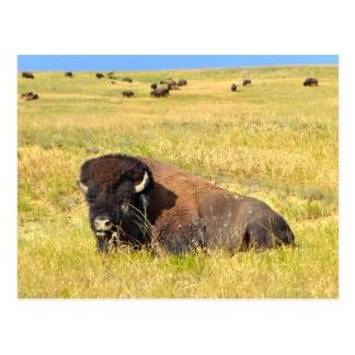 Onde o búfalo vagueia o cartão