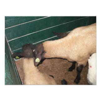Opinião dois carneiros de cima de arte de fotos