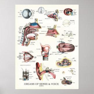 Órgãos do poster 18 x 24 da anatomia do sentido e