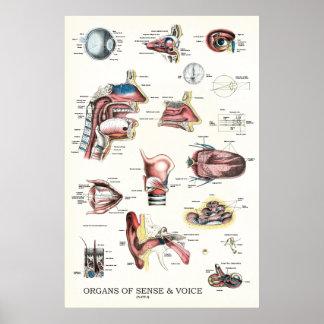 Órgãos do poster 24 x 36 da anatomia do sentido e