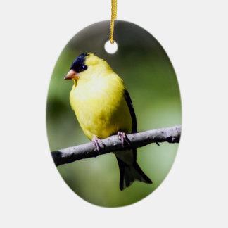 Ornamento americano masculino do Goldfinch