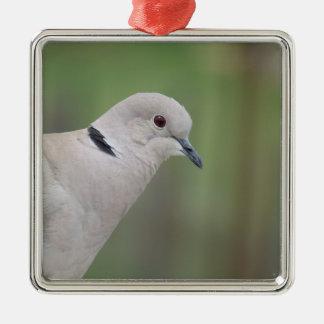 Ornamento colocado um colar Eurasian da pomba