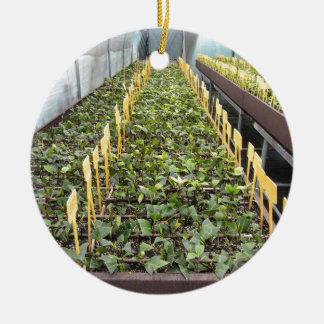 Ornamento De Cerâmica Cultivo da estufa da flor do japonica da camélia