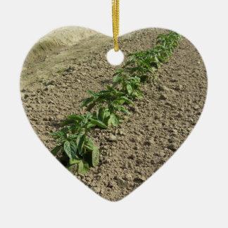 Ornamento De Cerâmica Plantas frescas da manjericão que crescem no campo