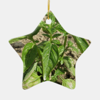 Ornamento De Cerâmica Única planta fresca da manjericão que cresce no