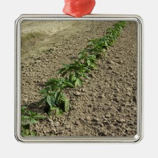 Ornamento De Metal Plantas frescas da manjericão que crescem no campo