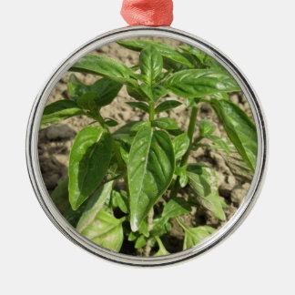 Ornamento De Metal Única planta fresca da manjericão que cresce no