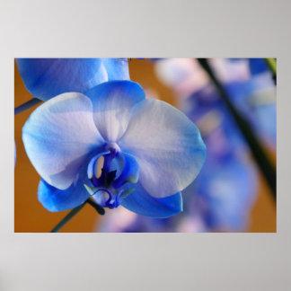Orquídea azul e branca pôster