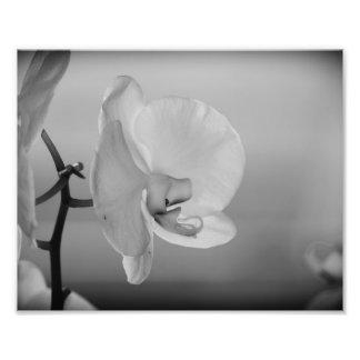 Orquídea branca - fotografia de B&W