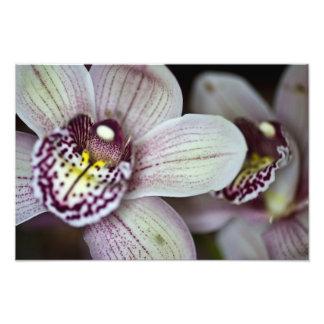 Orquídea roxa e branca impressão de foto