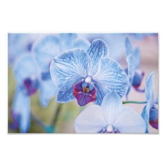 Orquídeas azuis impressão de fotos