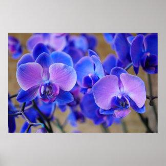 Orquídeas azuis e cor-de-rosa poster