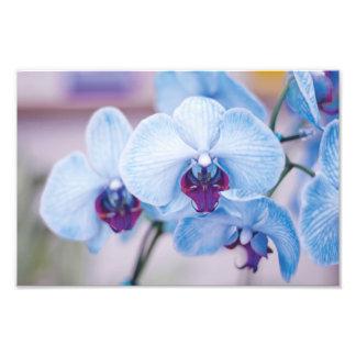 Orquídeas azuis impressão de foto
