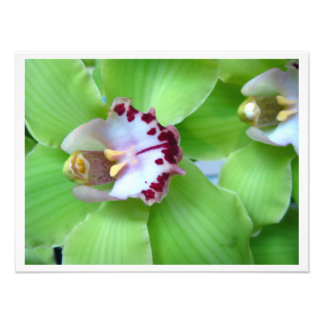 Orquídeas verdes do Cymbidium Impressão De Foto