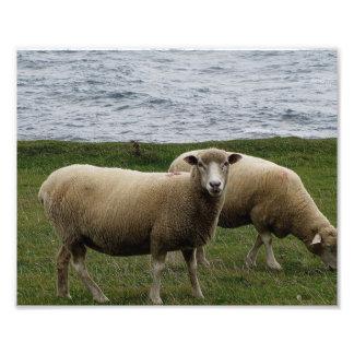 Os carneiros longos de lãs de Devon em Devon sul r Impressão De Foto