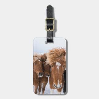Os cavalos islandêses nuzzle, Islândia Etiqueta De Bagagem