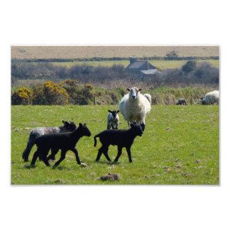 Os cordeiros Bodmin dos carneiros amarram Impressão De Foto