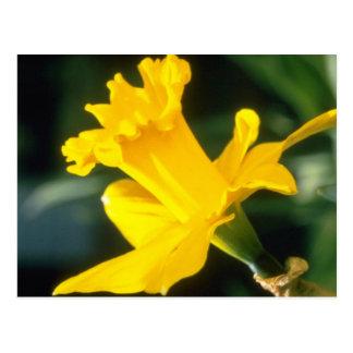 """os narciso da trombeta amarela, """"explorador"""" flore cartão postal"""