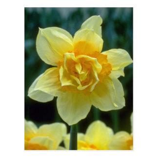 """os narciso dobro amarelos, """"Texas"""" florescem Cartão Postal"""