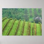 Os vinhedos da uva aproximam Newberg Oregon Posteres
