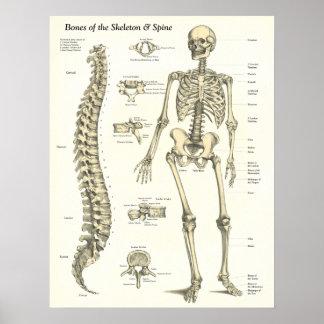 Ossos do esqueleto & do poster da anatomia da