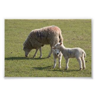 Ovelha e cordeiros impressão de foto