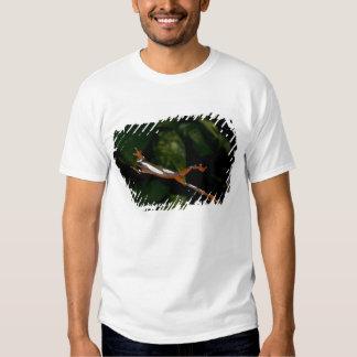 Palhaço Treefrog, leucophylatta do Hyla, nativo a T-shirt