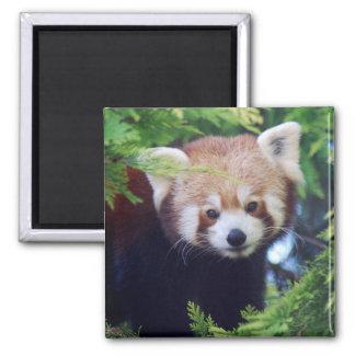 Panda vermelha ímã quadrado