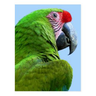 Papagaio - cartão postal
