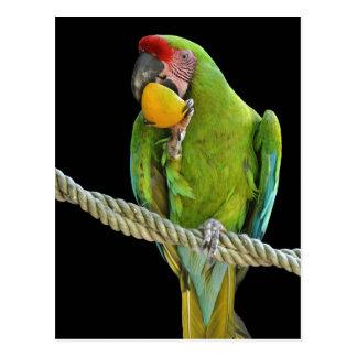 Papagaio - cartões postais