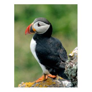 Papagaio-do-mar de solo cartão postal
