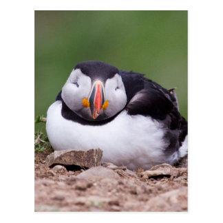 Papagaio-do-mar do sono cartão postal