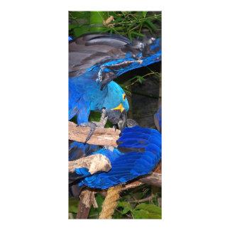 Papagaios azuis do macaw que lutam a imagem da fot 10.16 x 22.86cm panfleto