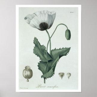"Papaver - somniferum de ""Phytographie Medicale"" pe Poster"