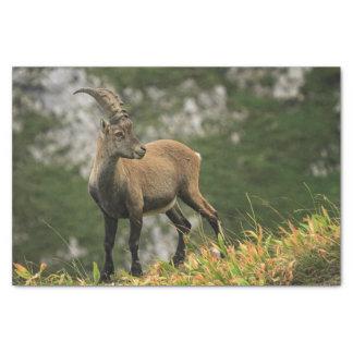 Papel De Seda Íbex selvagem alpino, da cabra, ou steinbock