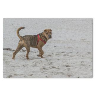 Papel De Seda pei shar na praia