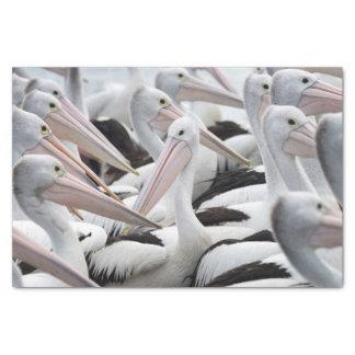 Papel De Seda Vagem dos pelicanos
