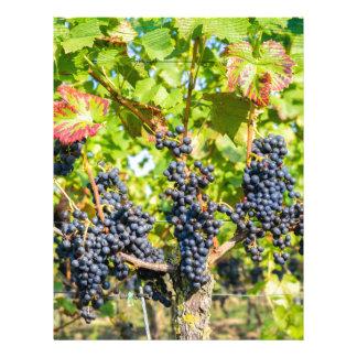 Papel Timbrado Grupos azuis de suspensão da uva no vinhedo