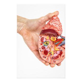 Papelaria A mão fêmea guardara o modelo do rim humano