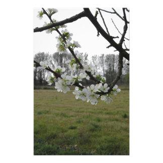 Papelaria Ameixa de florescência. Árvore branca de