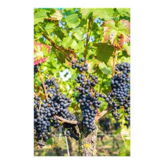 Papelaria Grupos azuis de suspensão da uva no vinhedo