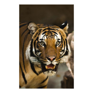 Papelaria Tigre Siberian